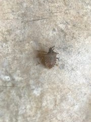 A species of stink bugs that originated in Asia is increasingly being spotted on the Eastern Shore of Virginia, including this insect seen inside a residence in Onley, Virginia on Monday, May 6, 2019.
