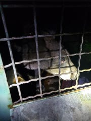The bear was safely trapped by Conservation agents and relocated out of town.