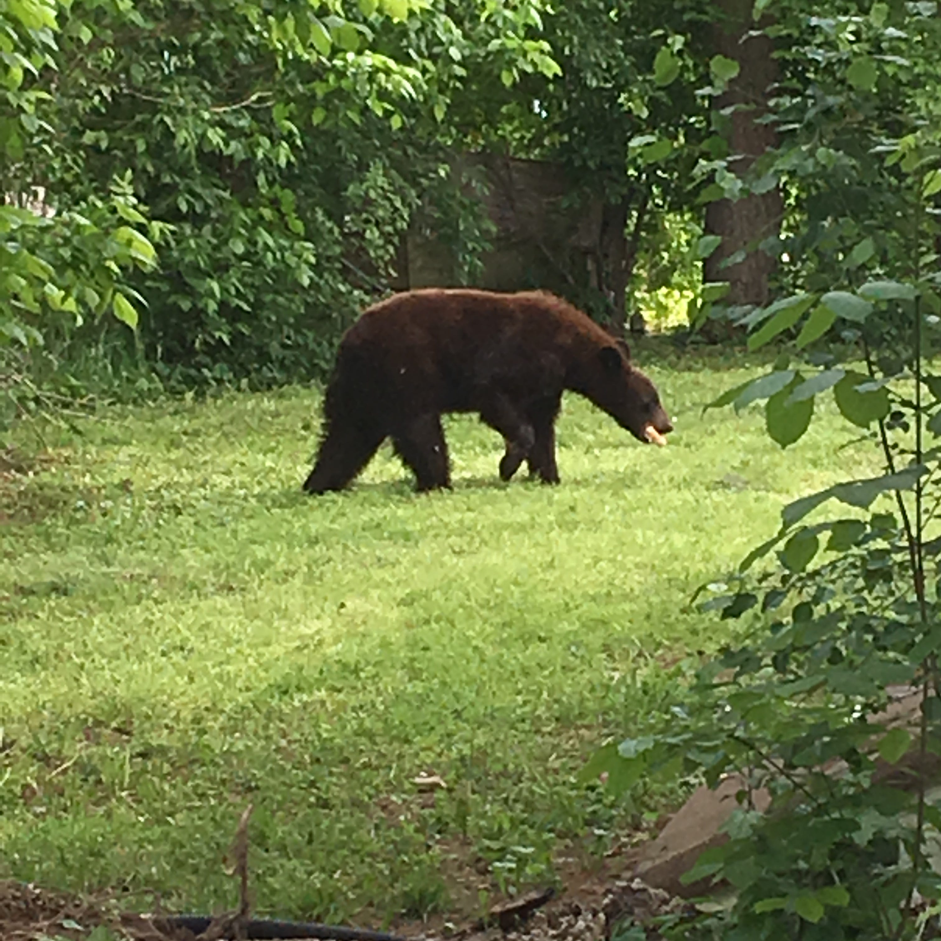 'Cinnamon' black bear who stopped by for dinner finally trapped in Salem city limits