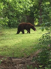 A cinnamon-colored black bear roams the backyard of a Salem resident before it was safely caught in a trap during an encounter in May.  Game agents relocated the bear.