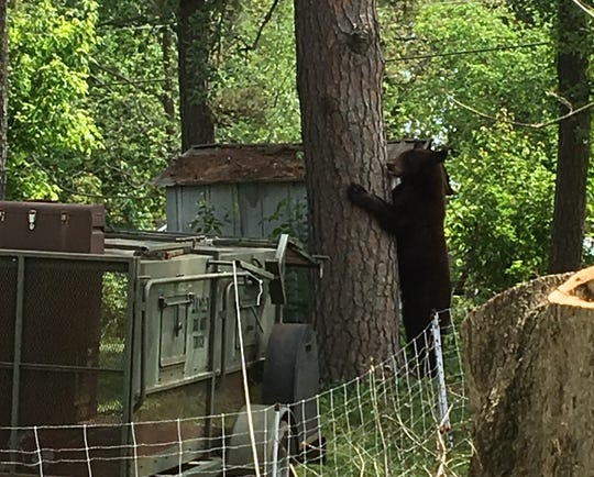 Cinnamon' black bear who stopped by for dinner finally