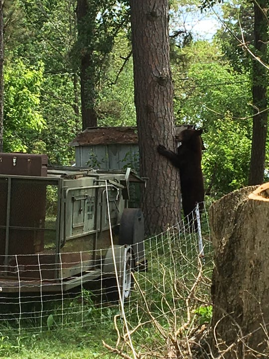 The bear appeared Monday evening inside Salem city, near the home of a family having an evening cookout.a