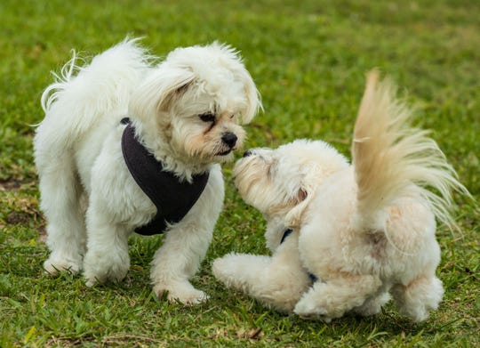 Bodhi Olson, left, makes a new friend during a recent visit to the Vero Beach Dog Park. Bodhi is owned by Allan and Dallas Olson of Vero Beach and Rhode Island.