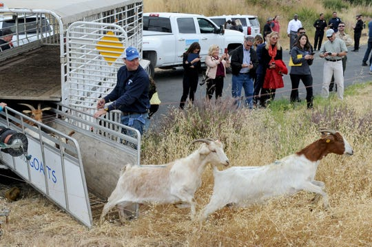 """Scott Morris, owner of 805 Goats, releases goats at the Southern California """"Ready for Wildfires"""" event Wednesday at the Reagan Library in Simi Valley. The goats are used to clear dry brush from the hillsides."""