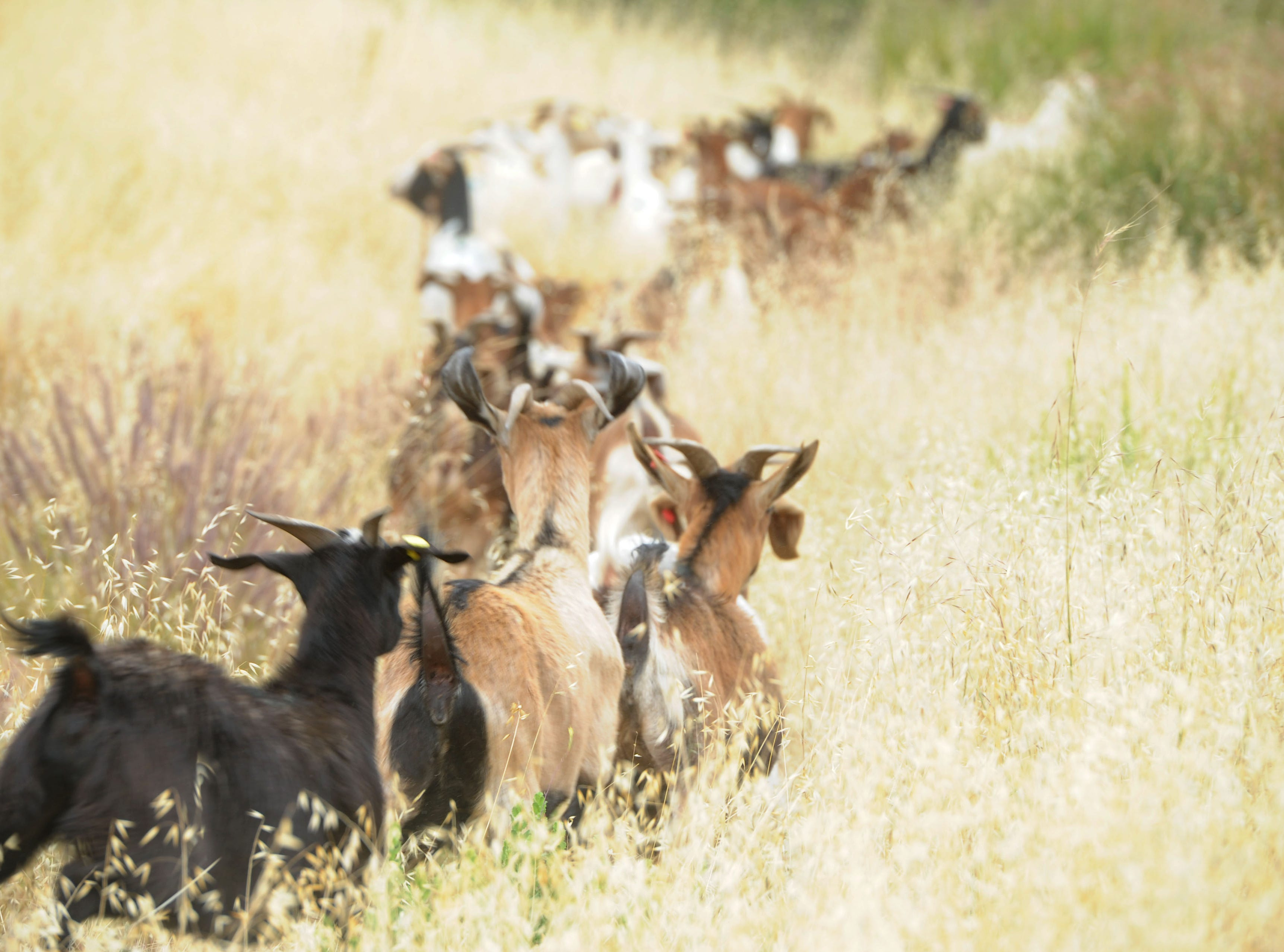 Goats rush onto the hillside after being released Wednesday at the Reagan Library grounds in Simi Valley. The goats are used to clear dry brush from the hillsides.
