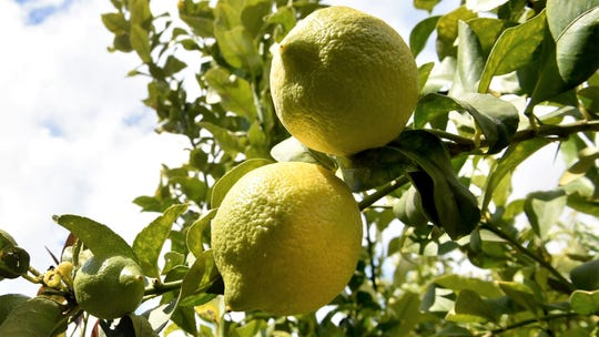 More than 20,000 pounds of chlorpyrifos were used on crops throughout Ventura County in 2016, the vast majority on lemons, according to the most recent data from the California Department of Pesticide Regulation.