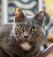 Safe Haven Pet Sanctuary in Green Bay will provide adoptable cats to the coming Pawffee Shop cat cafe in Grand Chute.