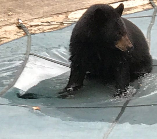 The North Asheville resident said another bear likes to play on his pool cover.  Unfortunately, it's a custom cover, and the bear punched a hole in it.
