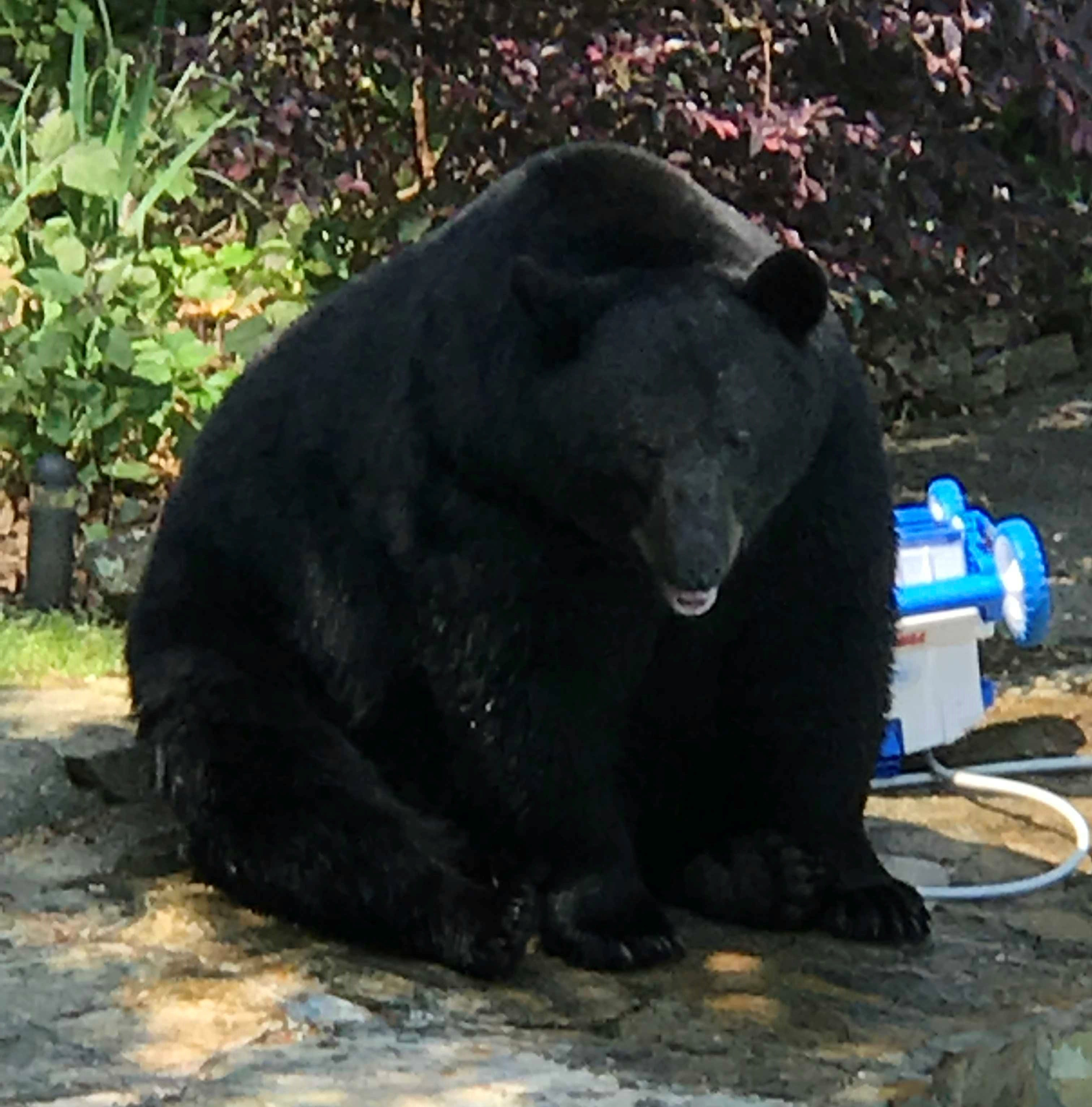Answer Man: Biggest bear ever in North Carolina? 600-pounders in WNC?