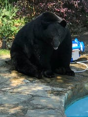 A North Asheville resident said this bear that showed up at his back yard pool last fall is the biggest one he's seen in 19 years of living there. A wildlife expert estimates its weight at around 600 pounds.