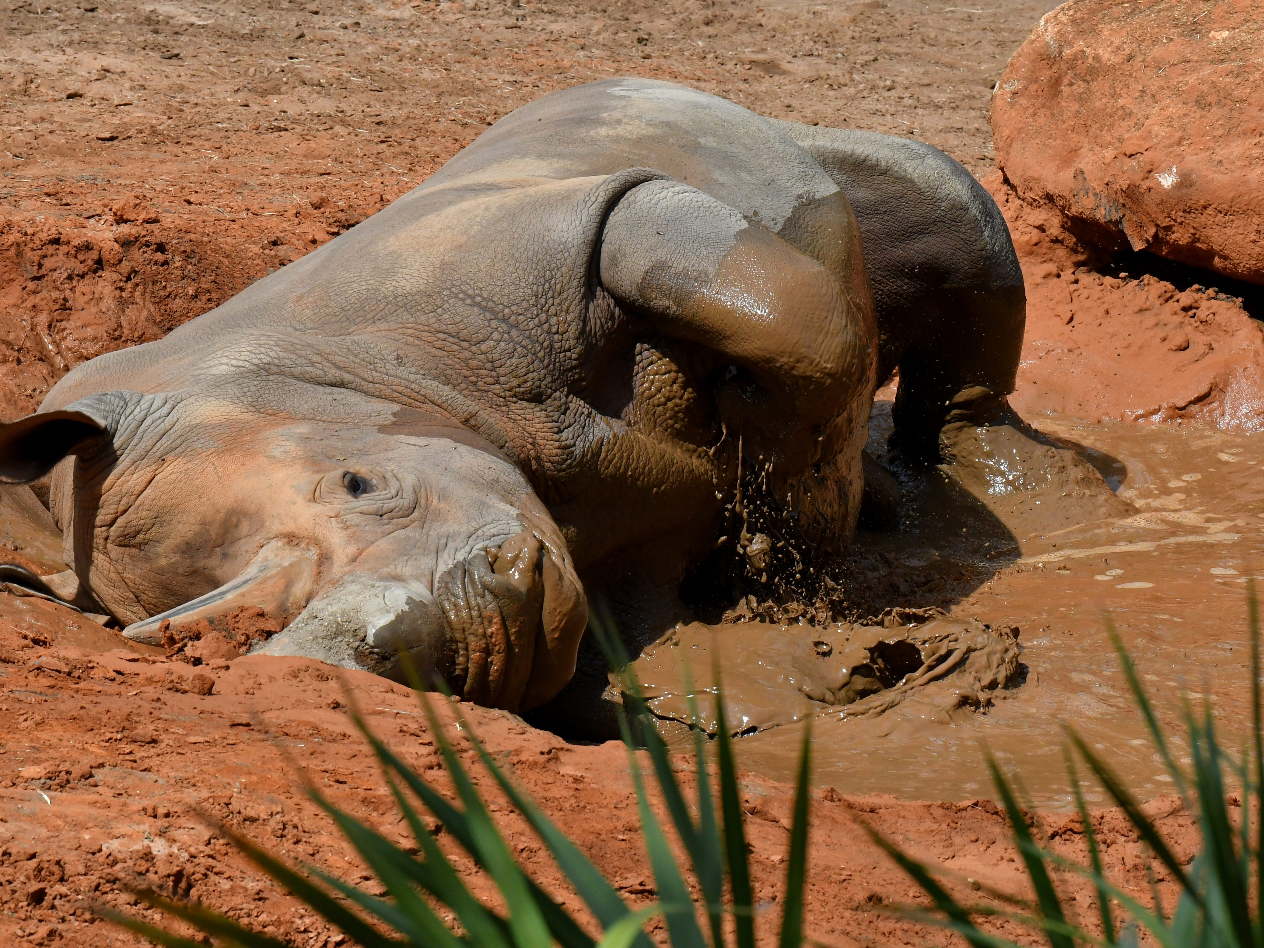 Mud bath at the Rhino Encounter. The Brevard Zoo in Viera is a popular visit for locals and tourists alike.