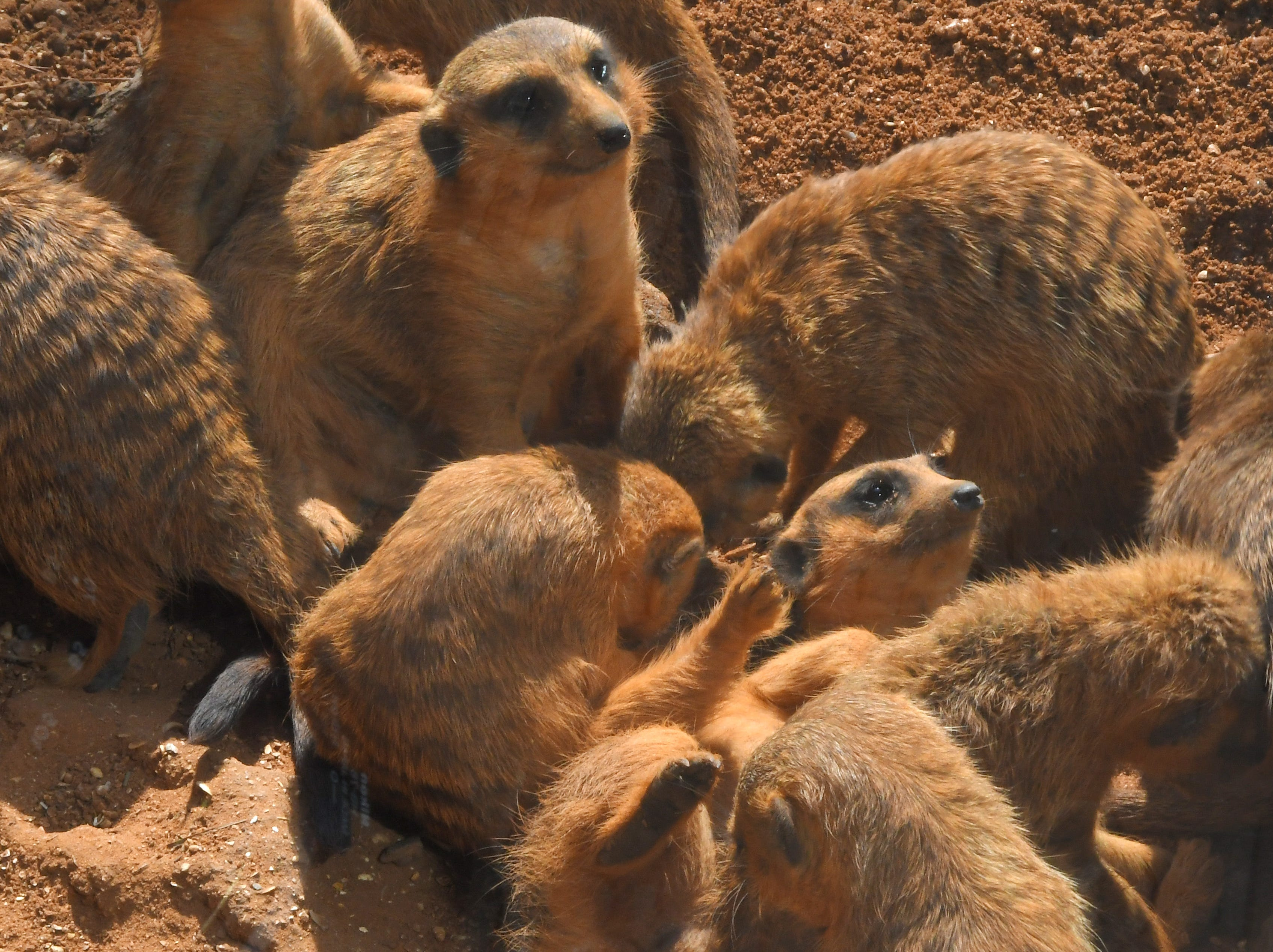 Meerkats at the Brevard Zoo in Viera. This location is a popular visit for locals and tourists alike.
