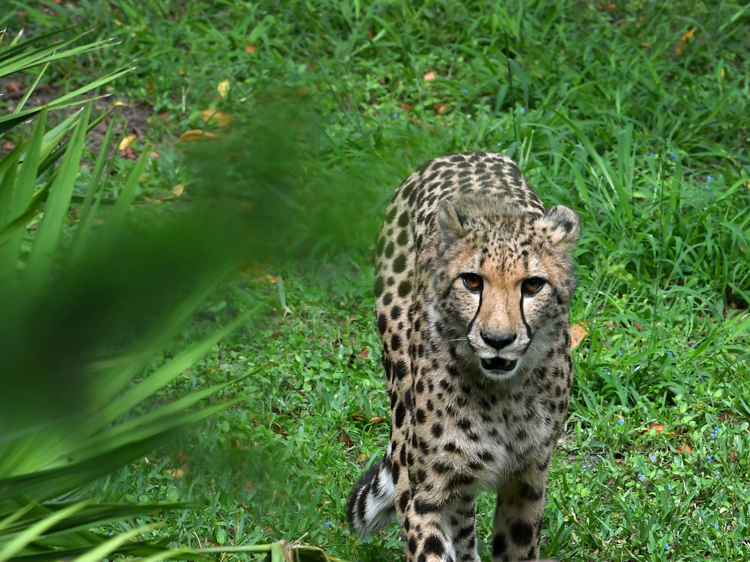 A cheetah at the Brevard Zoo in Viera.