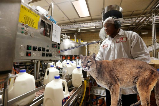 Seen in its natural habitat at Anderson Erickson Dairy, the Des Moines mountain lion surveys the 2% milk supply.
