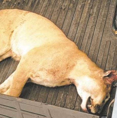 From the archives: Des Moines police kill mountain lion