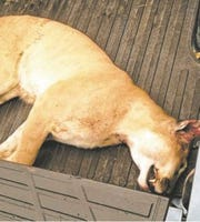 The mountain lion killed in Des Moines in 2012 was a young male who weighed about 100 pounds.