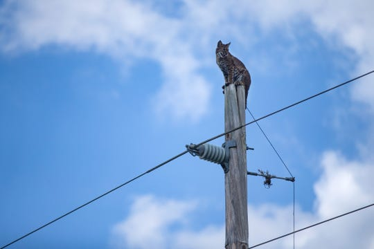 Florida Fish and Wildlife Conservation Commission helped a bobcat find its way down an electric pole Thursday, May 9, 2019, near the Florida Panther National Wildlife Refuge in Collier County.