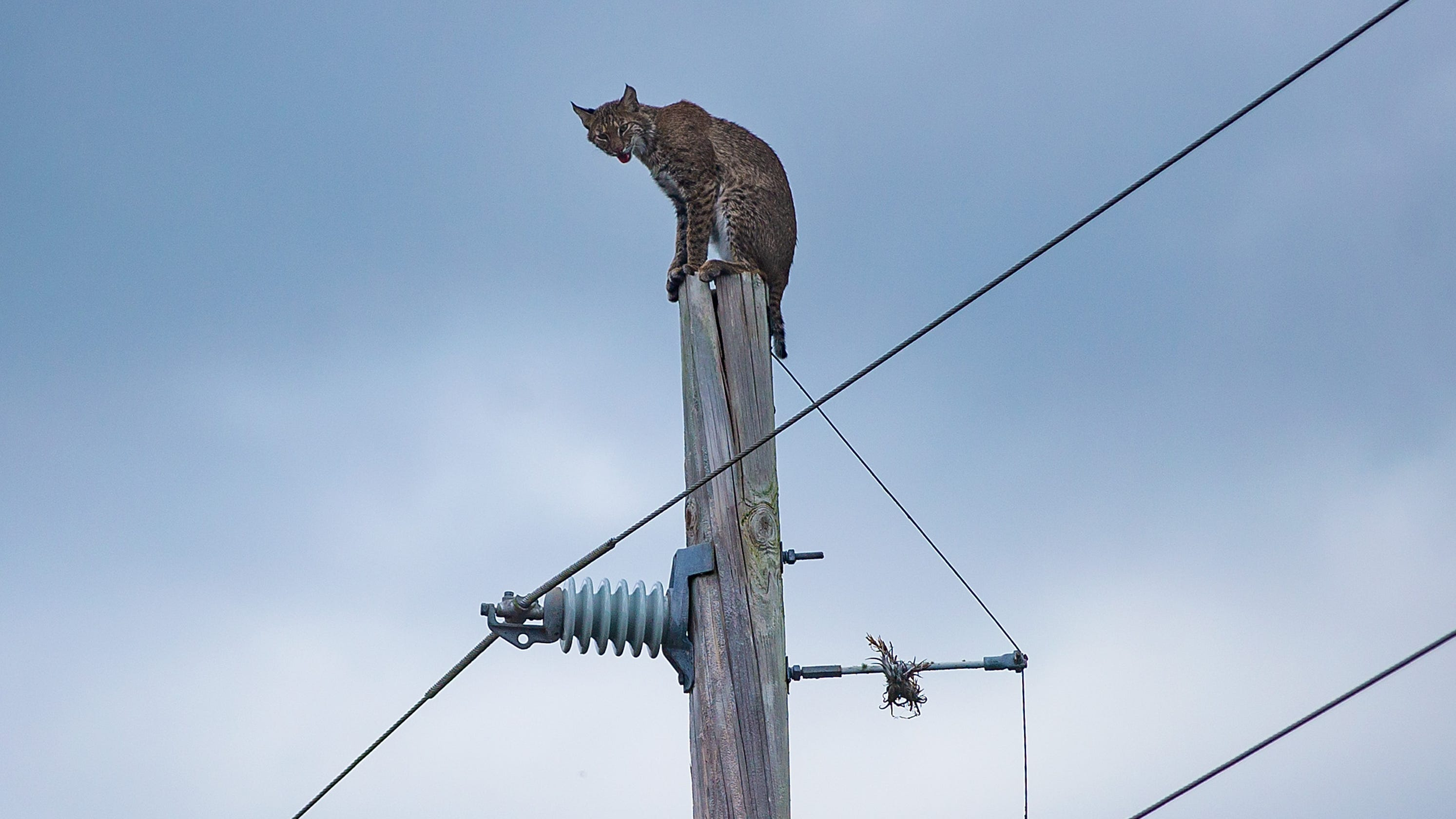 Bobcat Perched On Top Of An Electrical Pole On Alligator Alley