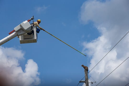 Florida Fish and Wildlife Conservation Commission helped a bobcat find its way down an electric pole Thursday, May 9, 2019, near the Florida Panther National Wildlife Refuge in Collier County.  A utility worker attempted to nudge the bobcat to move it down the pole. Eventually, the bobcat crawled down the pole and ran into the brush.