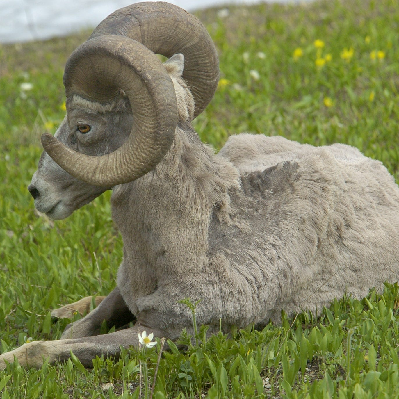 New law allows recovery of bighorn sheep horns, skulls