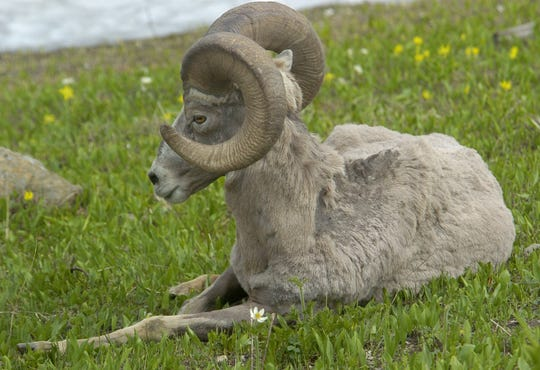A bighorn sheep rests in the Glacier Lilies on Logan Pass in Glacier National Park.