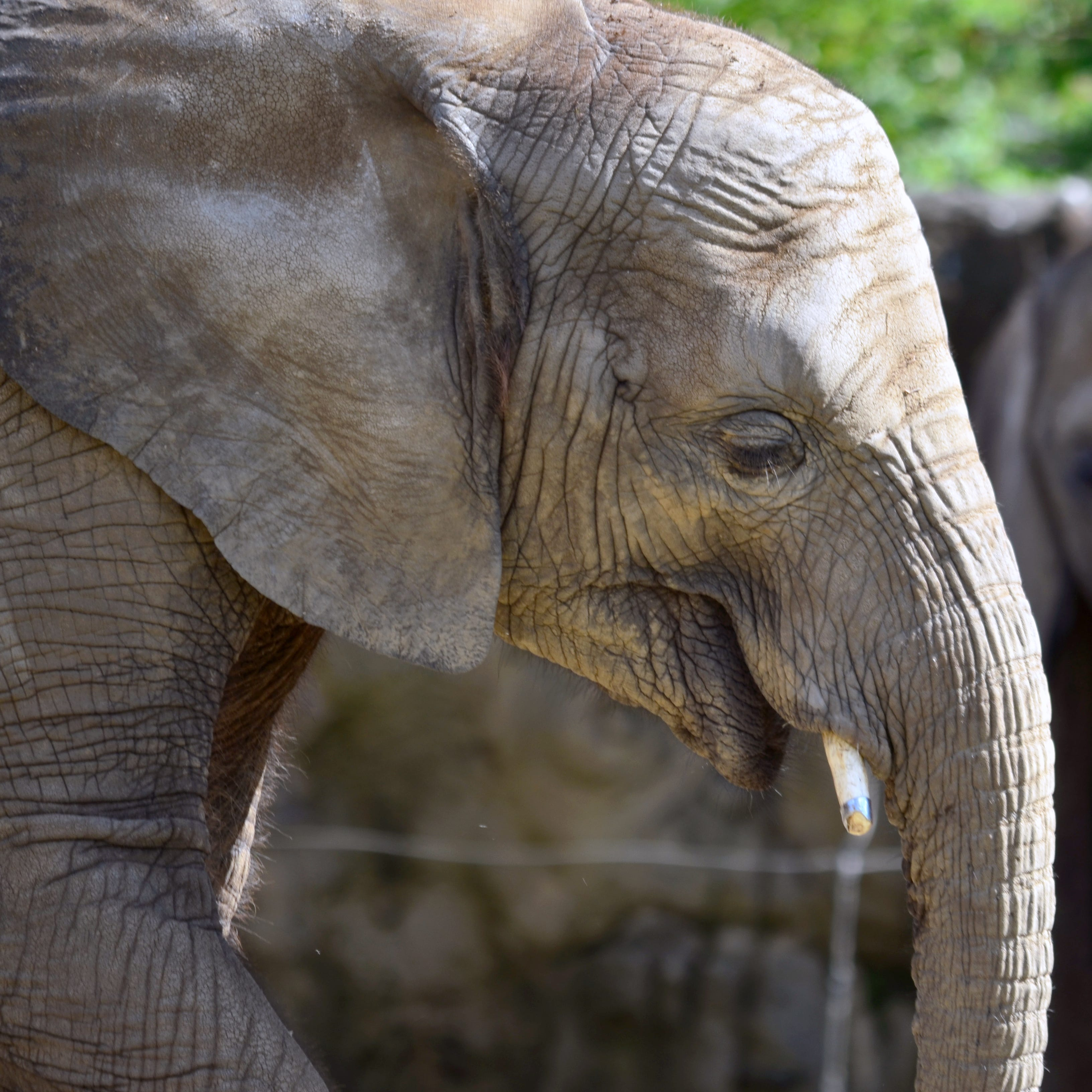 A rare virus has killed 2 Indianapolis Zoo elephants this year. Now a third has it.