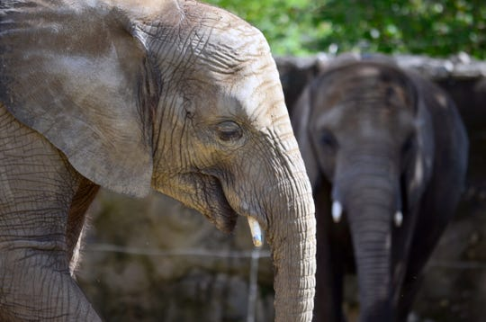 Kedar, a 13-year-old male elephant at the Indianapolis Zoo, tested positive for elephant endotheliotropic herpesvirus May 6, the zoo says. The virus killed two elephants at the zoo in March.