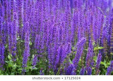 Purple salvia is a hummingbird magnet.