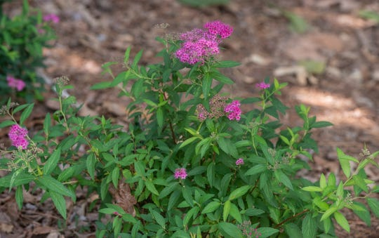 Anthony Waterer Spiraea are some of the Southern plants to be found in Montgomery Botanical Gardens. The public is invited to activities at Montgomery Botanical Gardens in Oak Park during National Public Gardens Week on May 13-19, 2019.