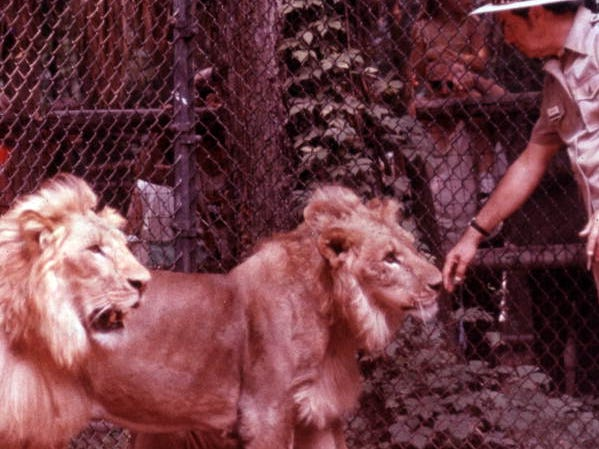 A trainer interacts with a pair of lions at Jungle Larry's African Safari at the Caribbean Gardens in this undated photo. The Naples Zoo is celebrating its 50th year as a zoo and 100th year as a botanical garden.