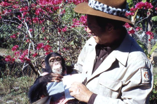 "Animal trainer ""Jungle Larry"" Tetzlaff  holds a chimpanzee at Jungle Larry's African Safari at the Caribbean Gardens in 1979. Renamed the Naples Zoo, it is celebrating its 50th year as a zoo and 100th year as a botanical garden."
