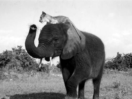 A lion rides an elephant at Jungle Larry's African Safari at the Caribbean Gardens in this undated photo. The Naples Zoo is celebrating its 50th year as a zoo and 100th year as a botanical garden.