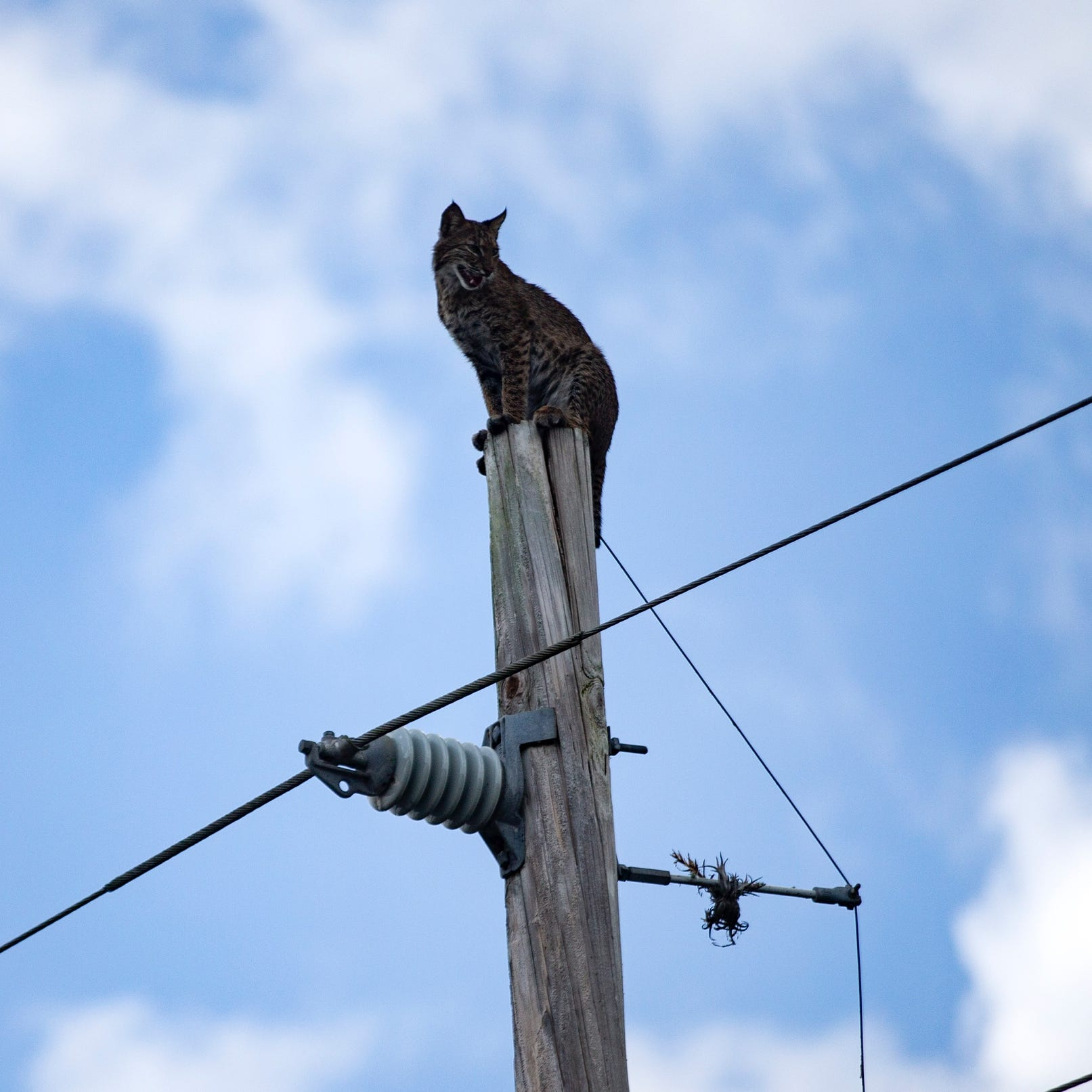 Bobcat perched atop electrical pole on Alligator Alley crawls down to safety