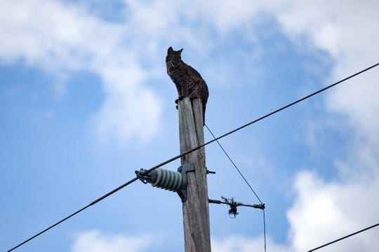 A utility worker tries to nudge a bobcat sitting on top of an electric pole next to the eastbound Interstate 75 milepost 78.2.
