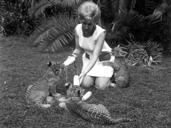 A woman plays with tiger cubs at Jungle Larry's African Safari at the Caribbean Gardens in this undated photo. The Naples Zoo is celebrating its 50th year as a zoo and 100th year as a botanical garden.