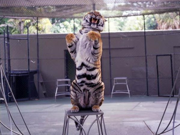 A tiger performs at Jungle Larry's Zoological Park at the Caribbean Gardens in 1992. The Naples Zoo is celebrating its 50th year as a zoo and 100th year as a botanical garden.