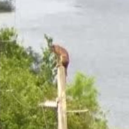 Is that a Florida panther perched on top of an electrical pole on Alligator Alley?
