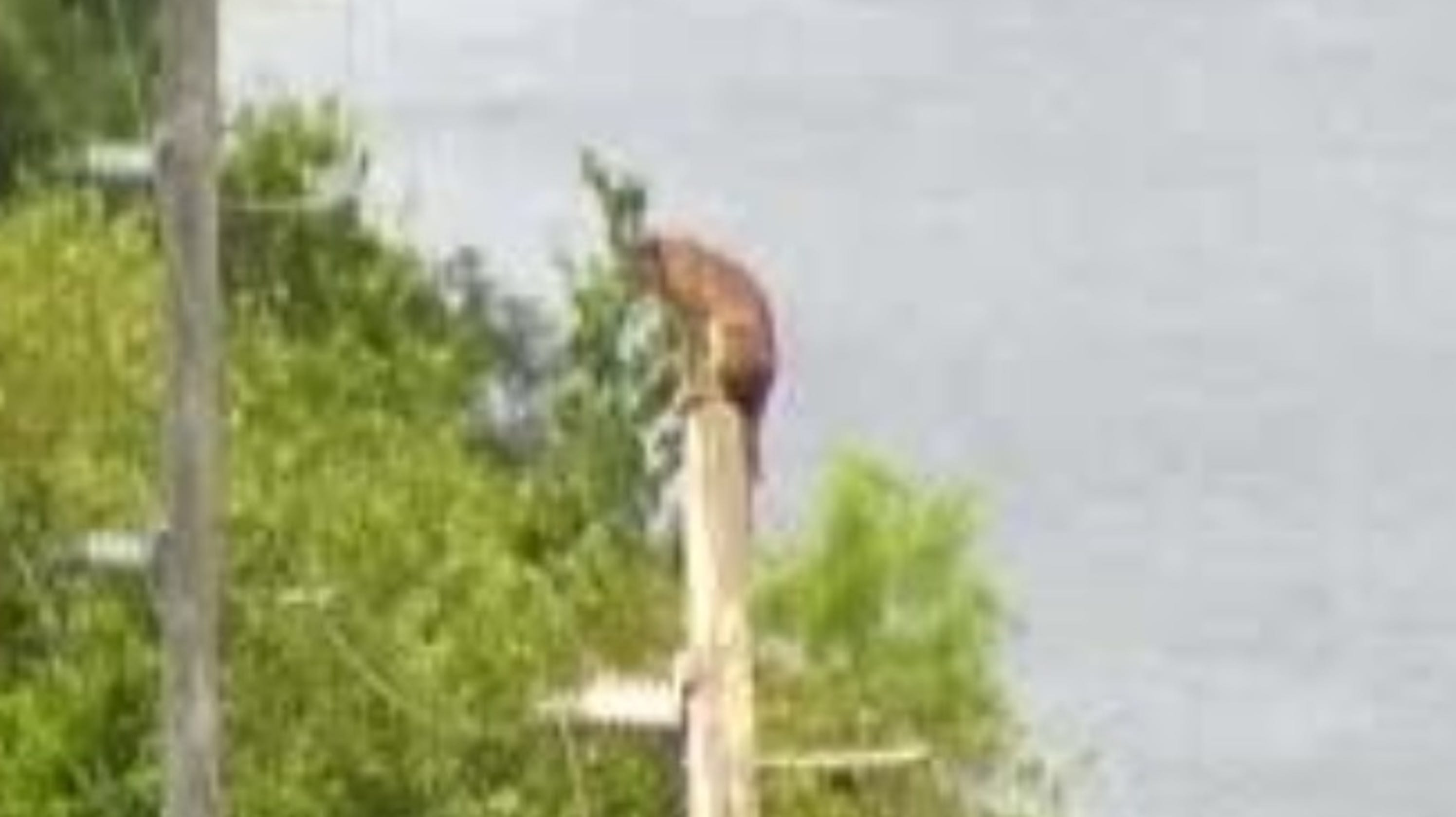 Is That A Florida Panther On An Electrical Pole On I 75 In