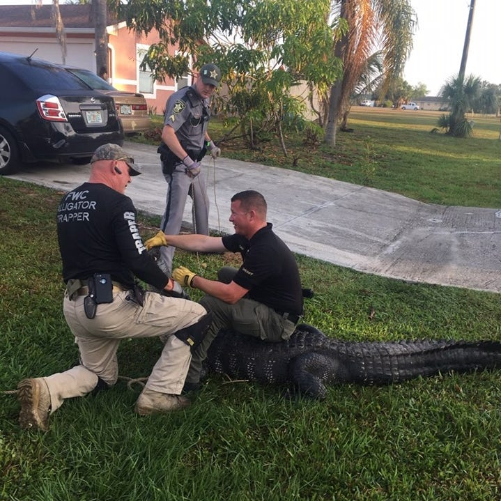 Collier deputies wrangle 9-foot alligator near bus stop in Golden Gate