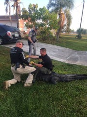 Trapper Ray Simonsen, Cpl. Edward Costello and Cpl. Jerrod Carver help wrangle a 9-foot alligator in Golden Gate on May 9, 2018.