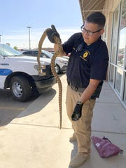 "Deming Animal Control Officer Francisco ""Paco"" Zapata gives a good view of the length of the snake that terrorized customers on Sunday at the Shoe Dept. store."