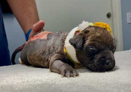 This puppy was discovered in a Coachella trash bin on May 5. It suffered burns and part of its tail was cut off, animal officials said.