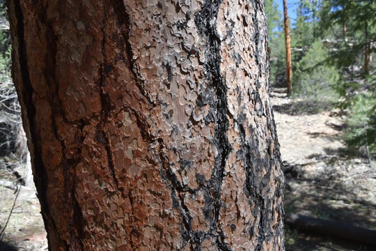 """Stop and smell the """"yellow bellies,"""" mature ponderosa pines that have developed a scaly, yellowish bark."""