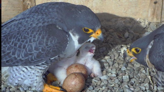 Since Wednesday, two peregrine falcon eyases have hatched atop Rochester's Times Square Building. Two more to go.