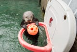 Oregon Zoo keepers say Juno the sea otter can dunk with the best of them.