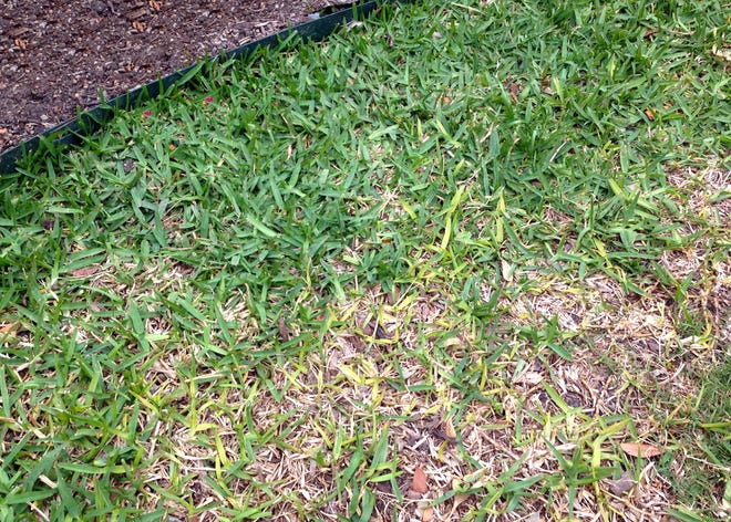 TARR, a root rot, causes grass to green up unevenly, even to die out in patches.