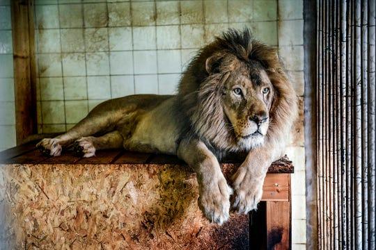 Bobby the lion in Tirana (Albania) Zoo on May 7, 2019.