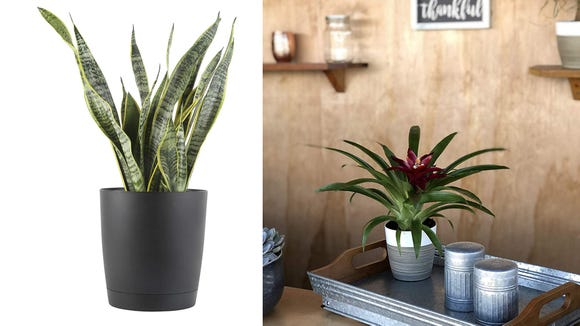 Breathe new life into your living areas with these plants from Costa Farms.