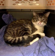 The SPCA Division of the Monmouth County Prosecutor's Office and Howell police are looking for the public's help in determining who shot this cat with a crossbow.