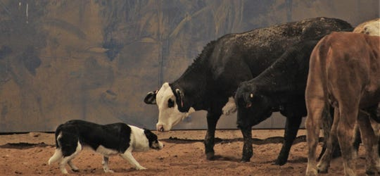 It's a faceoff that Ted the cowdog typically wins. Ted was the star of Friday's demonstration at the Western Heritage Classic at the Taylor County Expo Center.